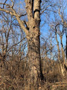 Hackberry Tree in Eastern Kansas